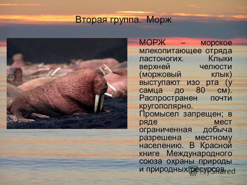 Вторая группа. Морж МОРЖ – морское млекопитающее отряда ластоногих. Клыки верхней челюсти (моржовый клык) выступают изо рта (у самца до 80 см). Распространен почти кругополярной. Промысел запрещен; в ряде мест ограниченная добыча разрешена местному н