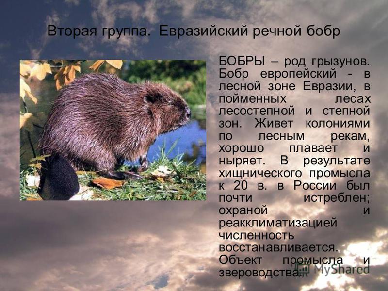 Вторая группа. Евразийский речной бобр БОБРЫ – род грызунов. Бобр европейский - в лесной зоне Евразии, в пойменных лесах лесостепной и степной зон. Живет колониями по лесным рекам, хорошо плавает и ныряет. В результате хищнического промысла к 20 в. в