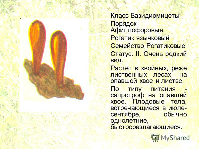 Класс Базидиомицеты - Порядок Афиллофоровые Рогатик язычковый Семейство Рогатиковые Статус. II. Очень редкий вид. Растет в хвойных, реже лиственных лесах, на опавшей хвое и листве. По типу питания - сапротроф на опавшей хвое. Плодовые тела, встречающ