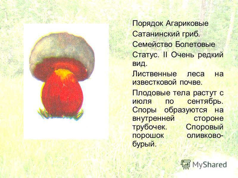 Порядок Агариковые Сатанинский гриб. Семейство Болетовые Статус. II Очень редкий вид. Лиственные леса на известковой почве. Плодовые тела растут с июля по сентябрь. Споры образуются на внутренней стороне трубочек. Споровый порошок оливково- бурый.