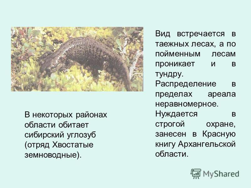 В некоторых районах области обитает сибирский углозуб (отряд Хвостатые земноводные). Вид встречается в таежных лесах, а по пойменным лесам проникает и в тундру. Распределение в пределах ареала неравномерное. Нуждается в строгой охране, занесен в Крас
