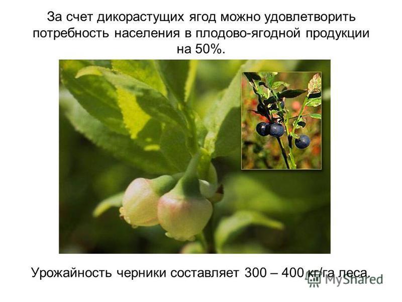 За счет дикорастущих ягод можно удовлетворить потребность населения в плодово-ягодной продукции на 50%. Урожайность черники составляет 300 – 400 кг/га леса.