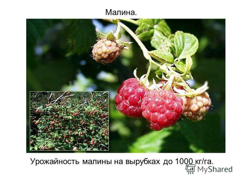 Малина. Урожайность малины на вырубках до 1000 кг/га.