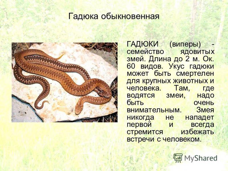Гадюка обыкновенная ГАДЮКИ (виперы) - семейство ядовитых змей. Длина до 2 м. Ок. 60 видов. Укус гадюки может быть смертелен для крупных животных и человека. Там, где водятся змеи, надо быть очень внимательным. Змея никогда не нападет первой и всегда