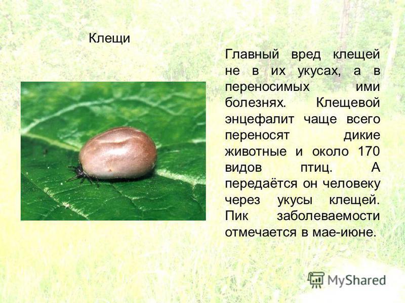 Главный вред клещей не в их укусах, а в переносимых ими болезнях. Клещевой энцефалит чаще всего переносят дикие животные и около 170 видов птиц. А передаётся он человеку через укусы клещей. Пик заболеваемости отмечается в мае-июне. Клещи