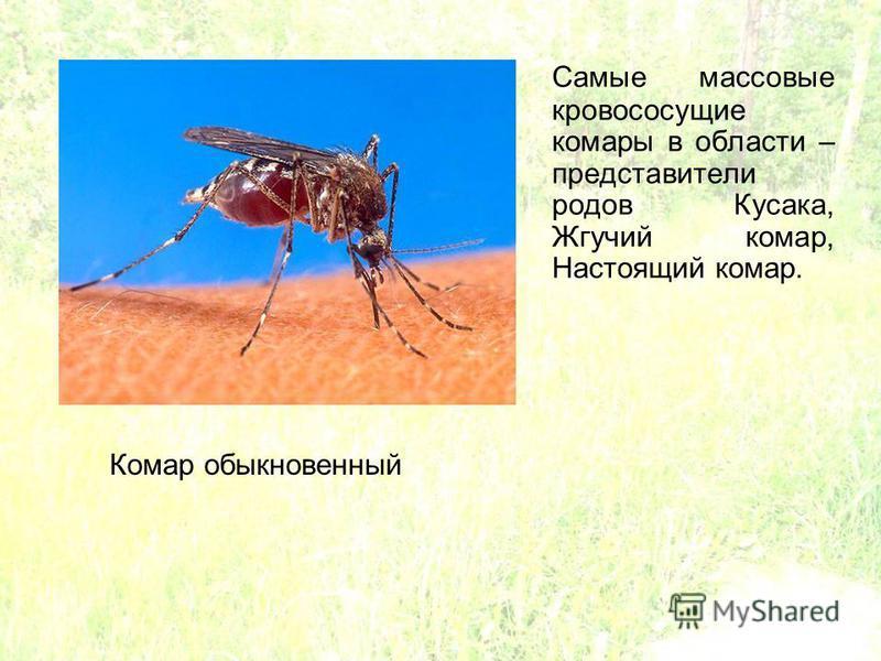 Самые массовые кровососущие комары в области – представители родов Кусака, Жгучий комар, Настоящий комар. Комар обыкновенный