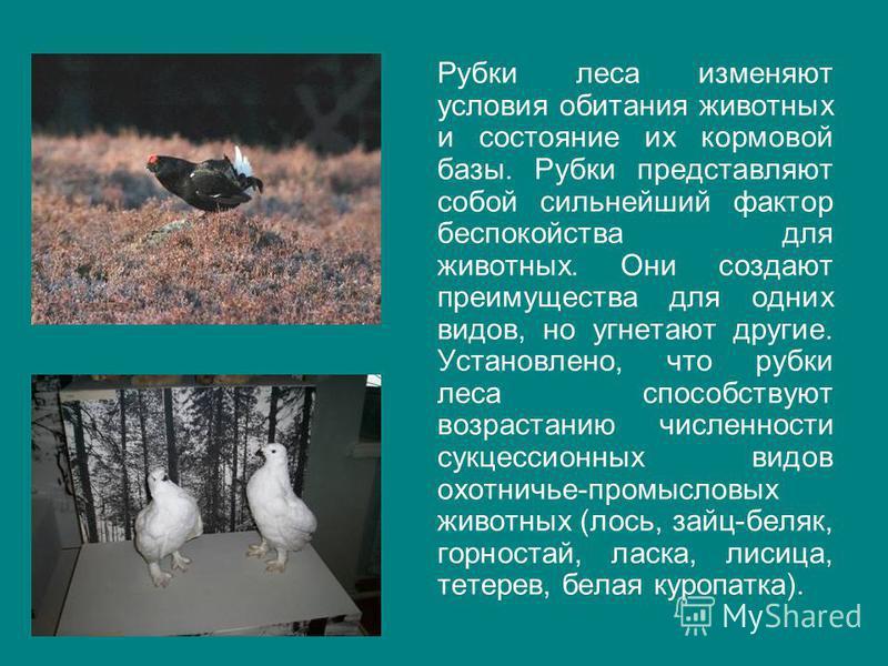 Рубки леса изменяют условия обитания животных и состояние их кормовой базы. Рубки представляют собой сильнейший фактор беспокойства для животных. Они создают преимущества для одних видов, но угнетают другие. Установлено, что рубки леса способствуют в