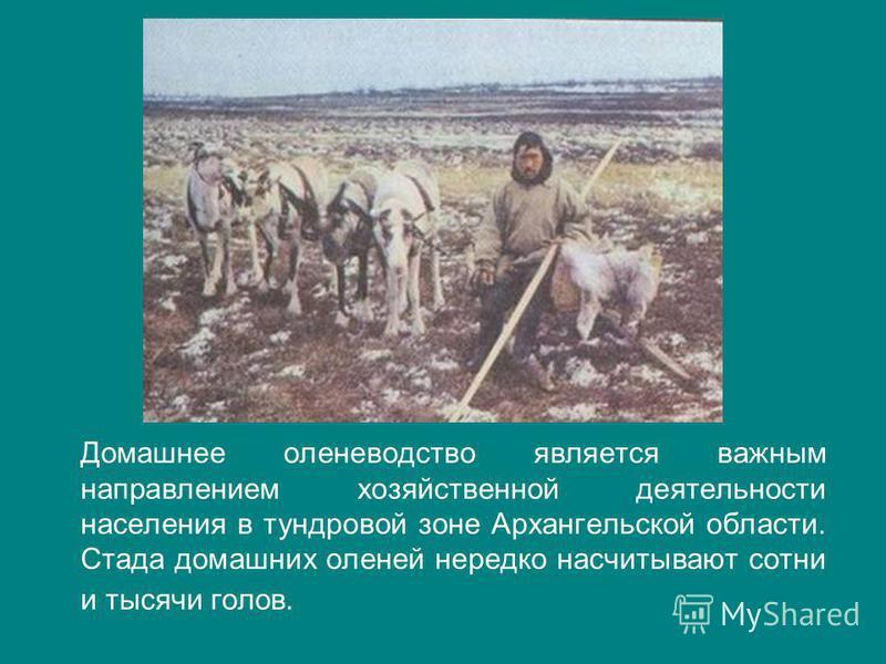 Домашнее оленеводство является важным направлением хозяйственной деятельности населения в тундровой зоне Архангельской области. Стада домашних оленей нередко насчитывают сотни и тысячи голов.