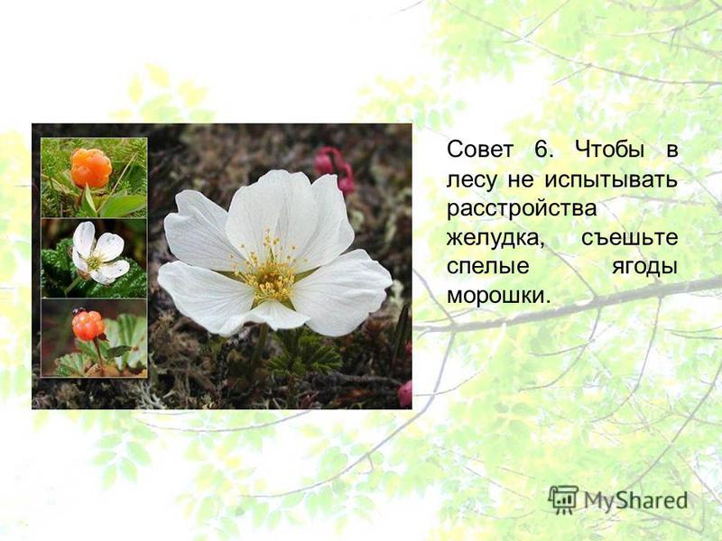 Совет 6. Чтобы в лесу не испытывать расстройства желудка, съешьте спелые ягоды морошки.