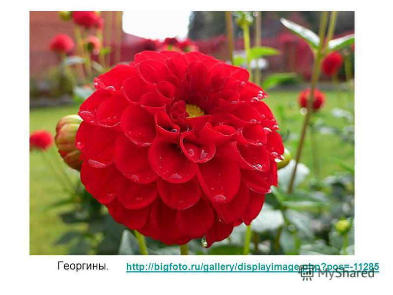 Георгины. http://bigfoto.ru/gallery/displayimage.php?pos=-11285