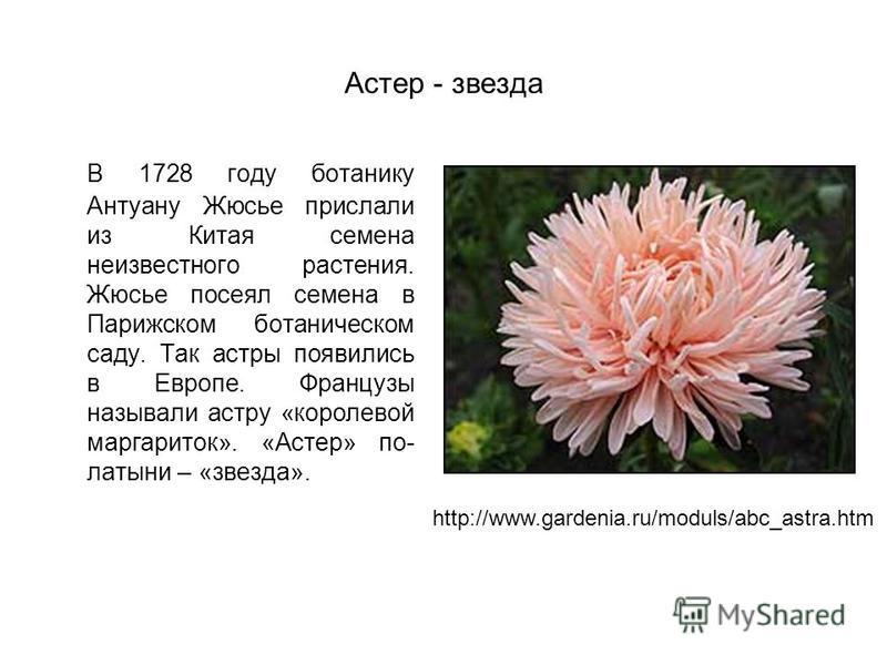 Астер - звезда В 1728 году ботанику Антуану Жюсье прислали из Китая семена неизвестного растения. Жюсье посеял семена в Парижском ботаническом саду. Так астры появились в Европе. Французы называли астру «королевой маргариток». «Астер» по- латыни – «з