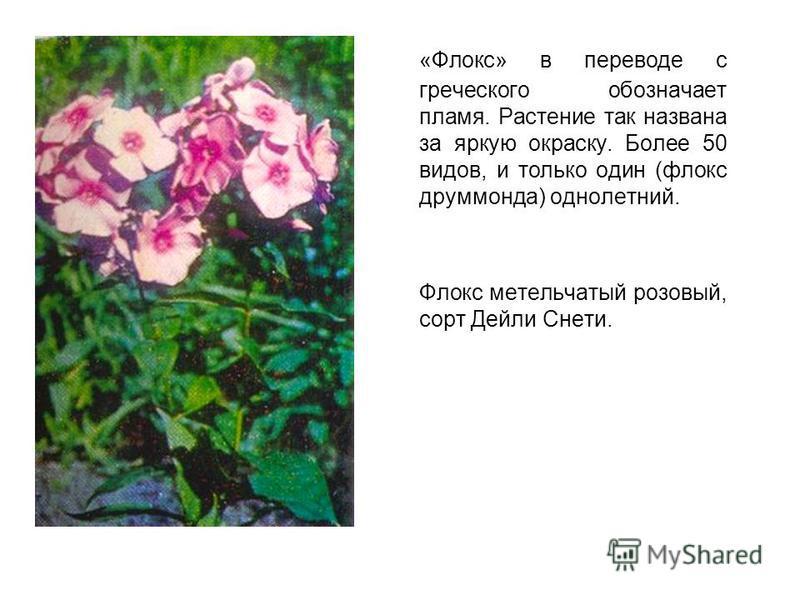 «Флокс» в переводе с греческого обозначает пламя. Растение так названа за яркую окраску. Более 50 видов, и только один (флокс друммонда) однолетний. Флокс метельчатый розовый, сорт Дейли Снети.