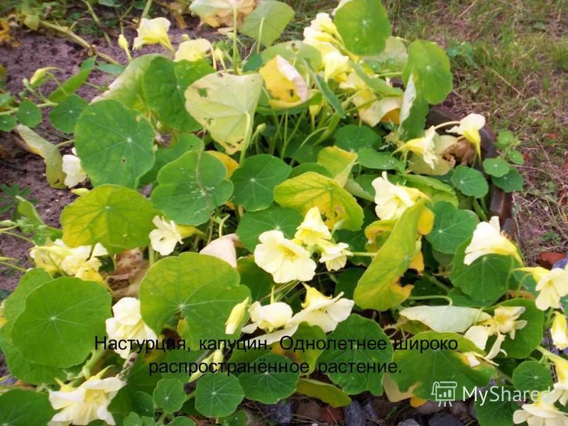 Настурция, капуцин. Однолетнее широко распространённое растение.