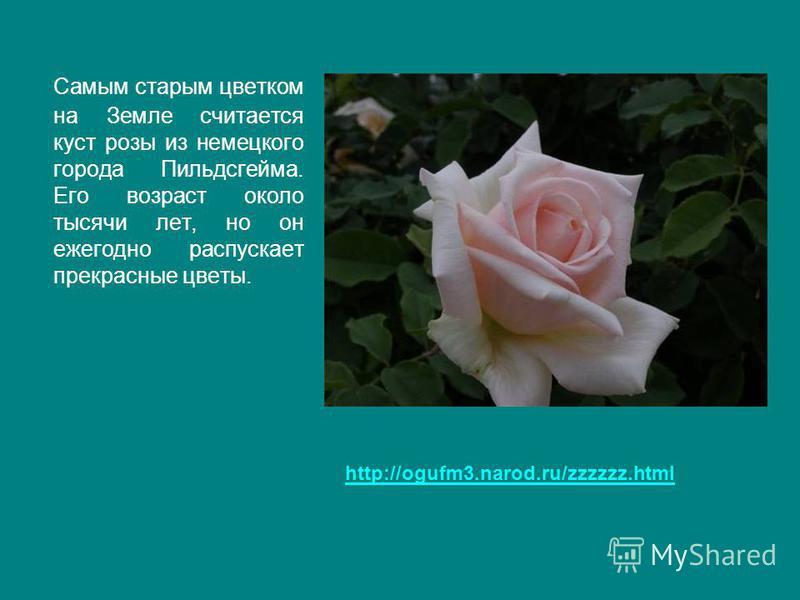 Самым старым цветком на Земле считается куст розы из немецкого города Пильдсгейма. Его возраст около тысячи лет, но он ежегодно распускает прекрасные цветы. http://ogufm3.narod.ru/zzzzzz.html