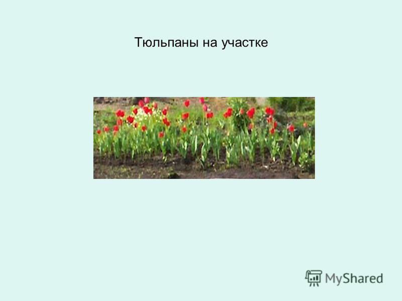 Тюльпаны на участке