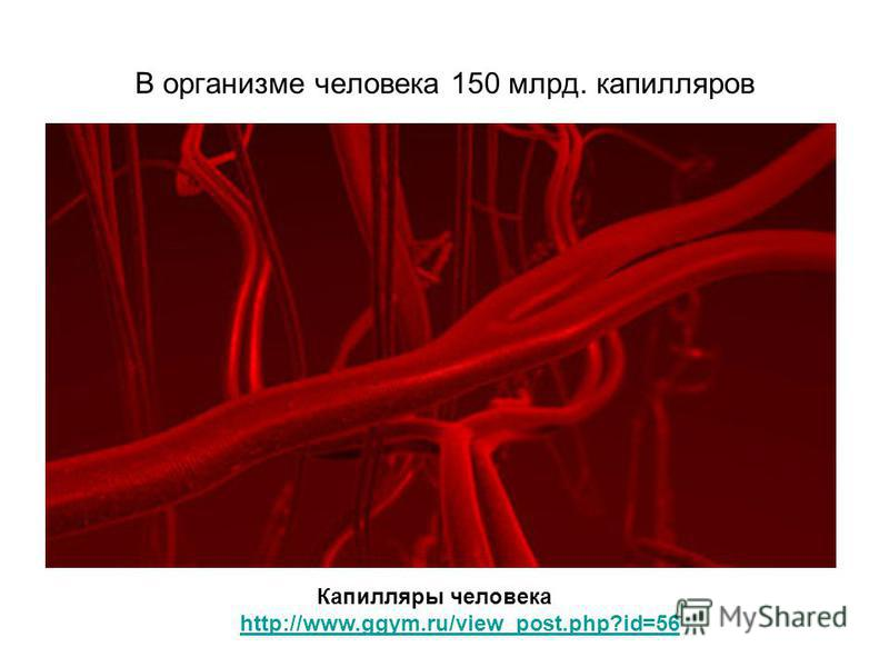 В организме человека 150 млрд. капилляров Капилляры человека http://www.ggym.ru/view_post.php?id=56
