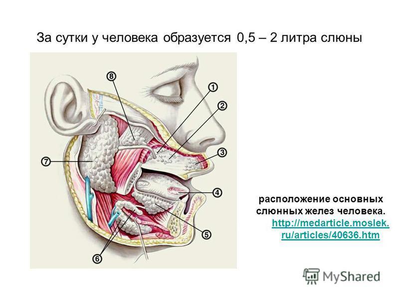 За сутки у человека образуется 0,5 – 2 литра слюны расположение основных слюнных желез человека. http://medarticle.moslek. ru/articles/40636.htm