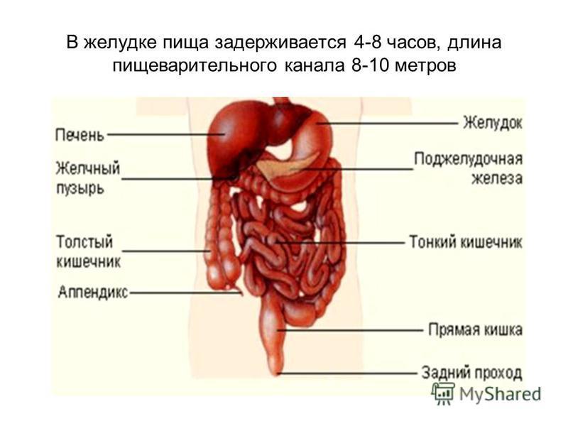 В желудке пища задерживается 4-8 часов, длина пищеварительного канала 8-10 метров
