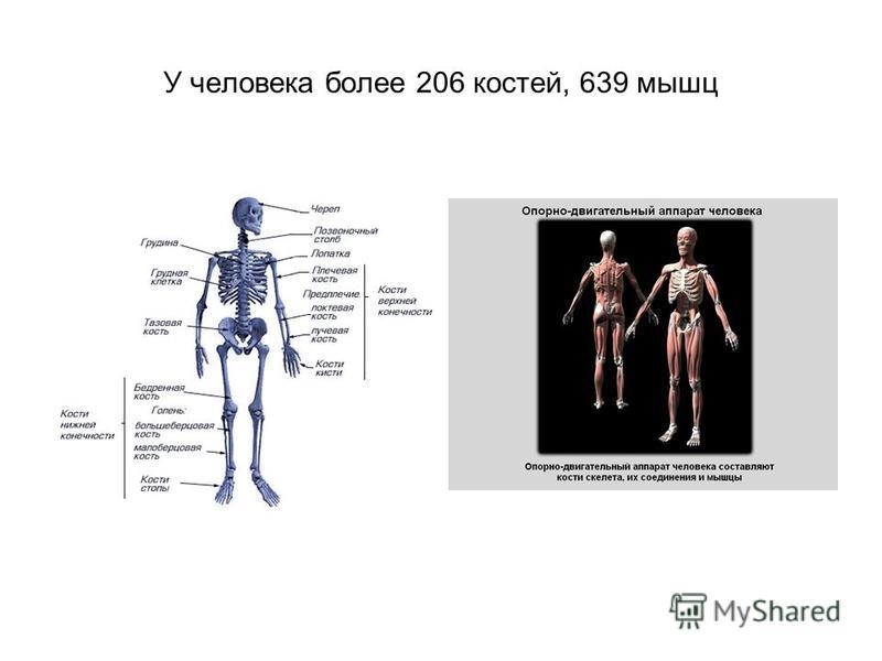 У человека более 206 костей, 639 мышц