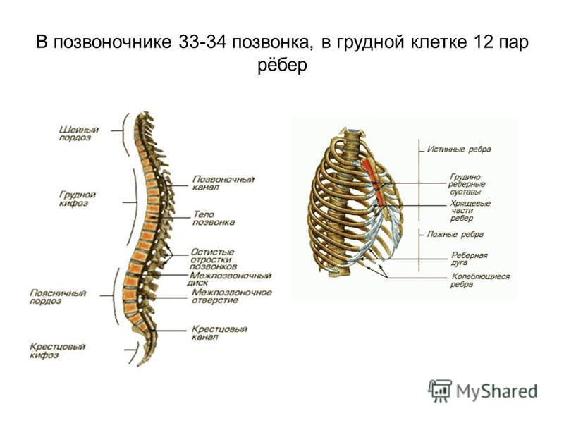 В позвоночнике 33-34 позвонка, в грудной клетке 12 пар рёбер