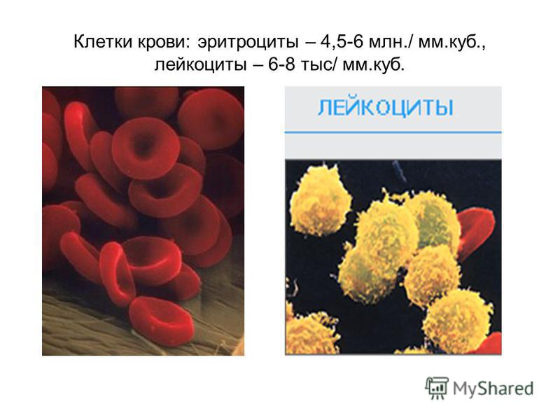 Клетки крови: эритроциты – 4,5-6 млн./ мм.куб., лейкоциты – 6-8 тыс/ мм.куб.