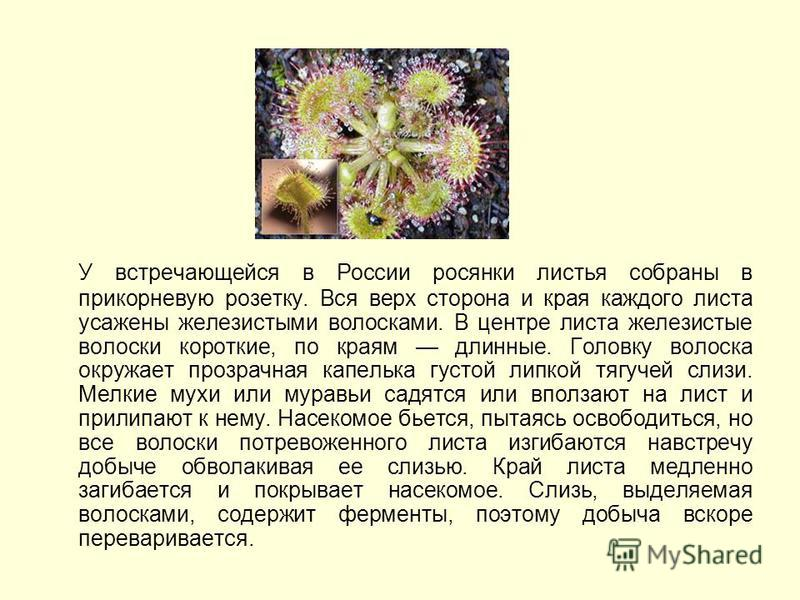 У встречающейся в России росянки листья собраны в прикорневую розетку. Вся верх сторона и края каждого листа усажены железистыми волосками. В центре листа железистые волоски короткие, по краям длинные. Головку волоска окружает прозрачная капелька гус