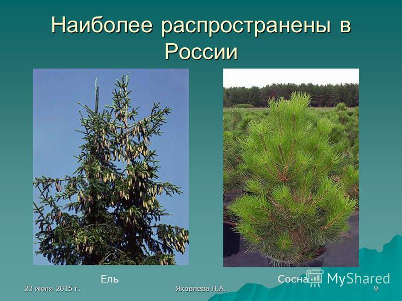 23 июля 2015 г.23 июля 2015 г.23 июля 2015 г.23 июля 2015 г. Яковлева Л.А. 9 Наиболее распространены в России Ель Сосна