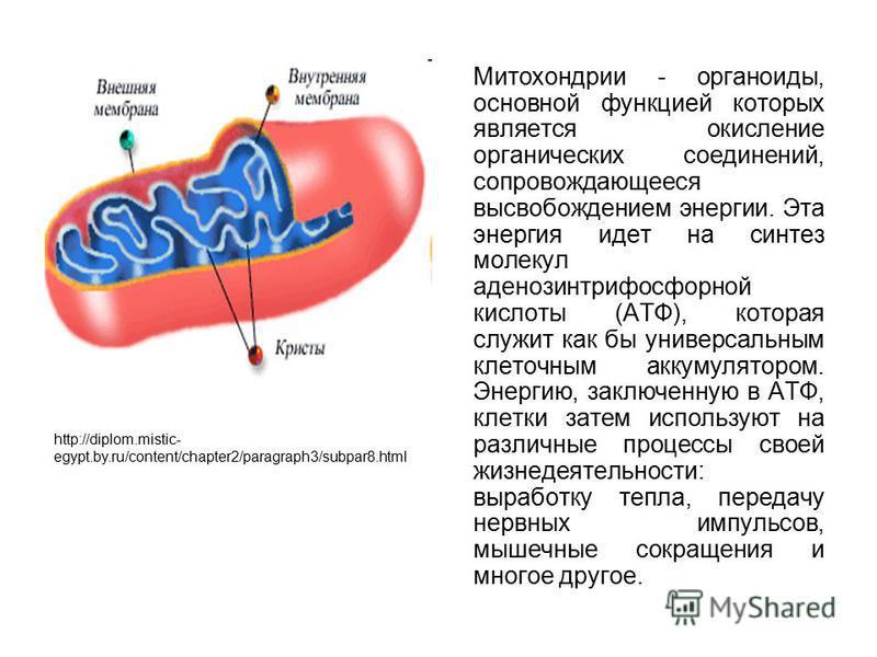 Митохондрии - органоиды, основной функцией которых является окисление органических соединений, сопровождающееся высвобождением энергии. Эта энергия идет на синтез молекул аденозинтрифосфорной кислоты (АТФ), которая служит как бы универсальным клеточн