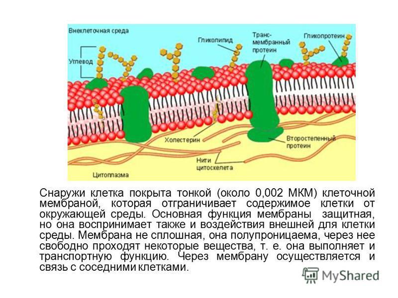 Снаружи клетка покрыта тонкой (около 0,002 МКМ) клеточной мембраной, которая отграничивает содержимое клетки от окружающей среды. Основная функция мембраны  защитная, но она воспринимает также и воздействия внешней для клетки среды. Мембрана не спло