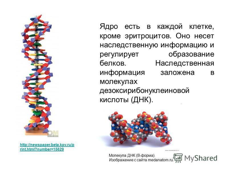 Ядро есть в каждой клетке, кроме эритроцитов. Оно несет наследственную информацию и регулирует образование белков. Наследственная информация заложена в молекулах дезоксирибонуклеиновой кислоты (ДНК). http://newspaper.beta.kpv.ru/p rint.html?number=15