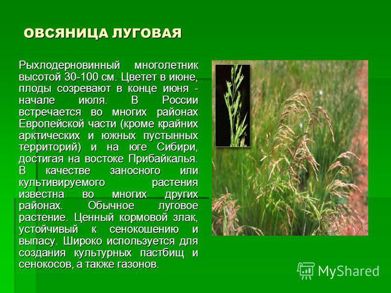 ОВСЯНИЦА ЛУГОВАЯ Рыхлодерновинный многолетник высотой 30-100 см. Цветет в июне, плоды созревают в конце июня - начале июля. В России встречается во многих районах Европейской части (кроме крайних арктических и южных пустынных территорий) и на юге Сиб