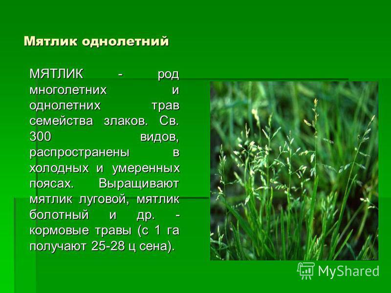 Мятлик однолетний МЯТЛИК - род многолетних и однолетних трав семейства злаков. Св. 300 видов, распространены в холодных и умеренных поясах. Выращивают мятлик луговой, мятлик болотный и др. - кормовые травы (с 1 га получают 25-28 ц сена).