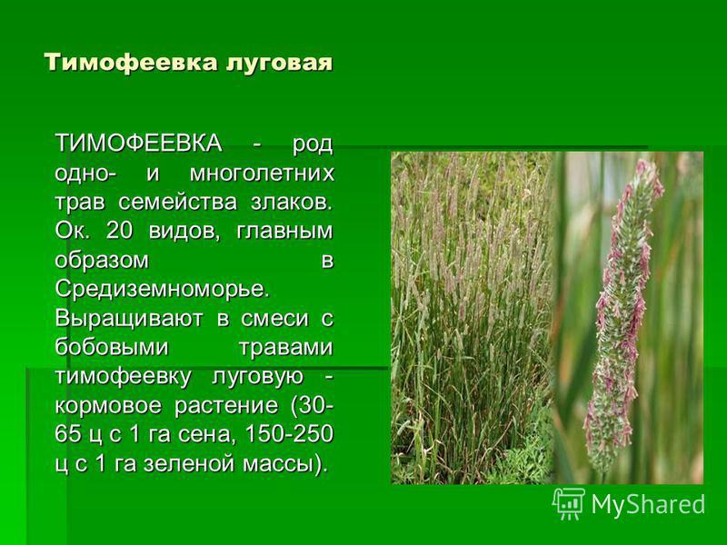 Тимофеевка луговая ТИМОФЕЕВКА - род одно- и многолетних трав семейства злаков. Ок. 20 видов, главным образом в Средиземноморье. Выращивают в смеси с бобовыми травами тимофеевку луговую - кормовое растение (30- 65 ц с 1 га сена, 150-250 ц с 1 га зелен