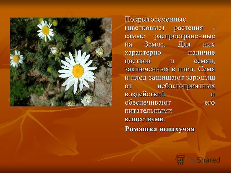Покрытосеменные (цветковые) растения - самые распространенные на Земле. Для них характерно наличие цветков и семян, заключенных в плод. Семя и плод защищают зародыш от неблагоприятных воздействий и обеспечивают его питательными веществами. Ромашка не
