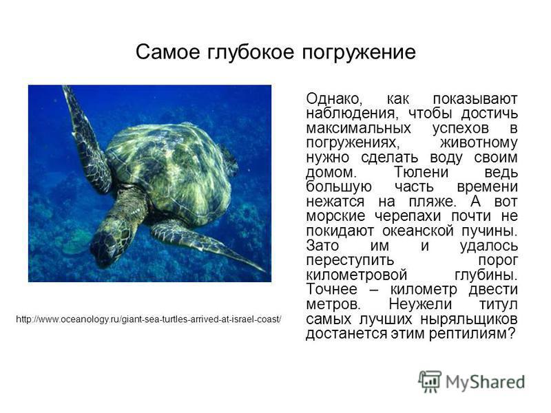 Самое глубокое погружение Однако, как показывают наблюдения, чтобы достичь максимальных успехов в погружениях, животному нужно сделать воду своим домом. Тюлени ведь большую часть времени нежатся на пляже. А вот морские черепахи почти не покидают океа