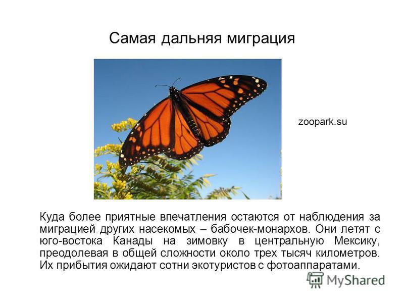 Самая дальняя миграция Куда более приятные впечатления остаются от наблюдения за миграцией других насекомых – бабочек-монархов. Они летят с юго-востока Канады на зимовку в центральную Мексику, преодолевая в общей сложности около трех тысяч километров