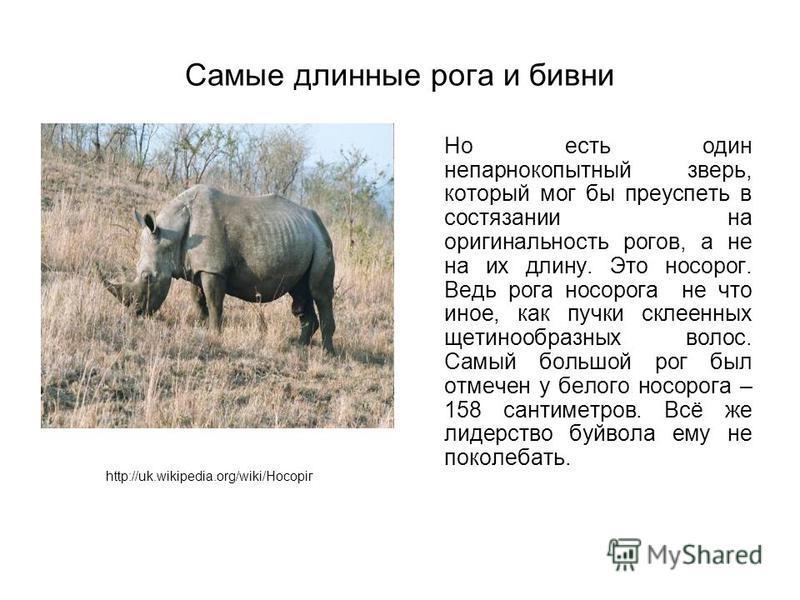 Самые длинные рога и бивни Но есть один непарнокопытный зверь, который мог бы преуспеть в состязании на оригинальность рогов, а не на их длину. Это носорог. Ведь рога носорога не что иное, как пучки склеенных щетинообразных волос. Самый большой рог б