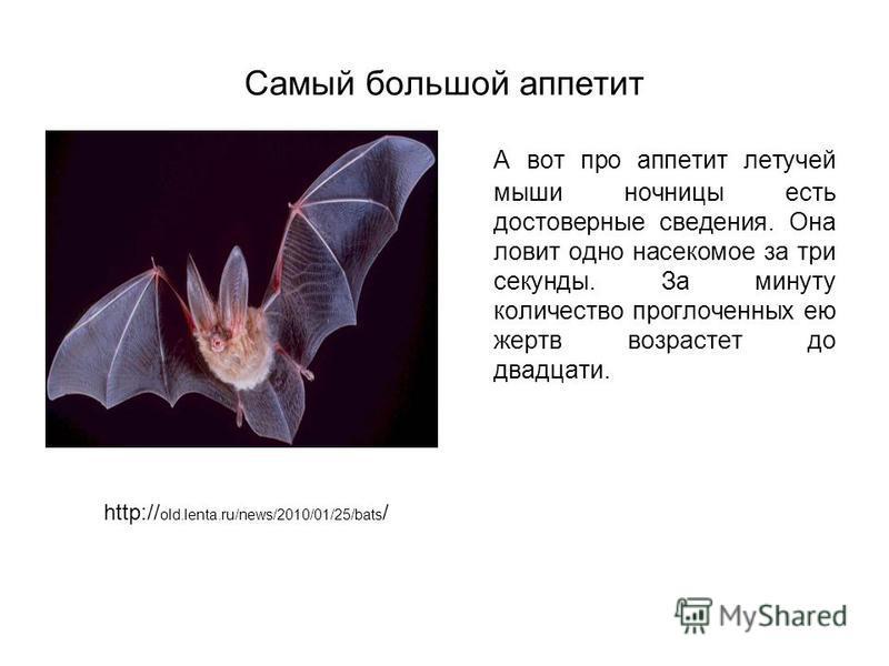 Самый большой аппетит А вот про аппетит летучей мыши ночницы есть достоверные сведения. Она ловит одно насекомое за три секунды. За минуту количество проглоченных ею жертв возрастет до двадцати. http:// old.lenta.ru/news/2010/01/25/bats /