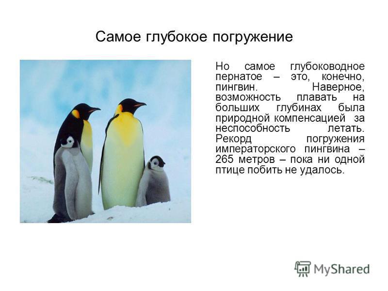 Самое глубокое погружение Но самое глубоководное пернатое – это, конечно, пингвин. Наверное, возможность плавать на больших глубинах была природной компенсацией за неспособность летать. Рекорд погружения императорского пингвина – 265 метров – пока ни