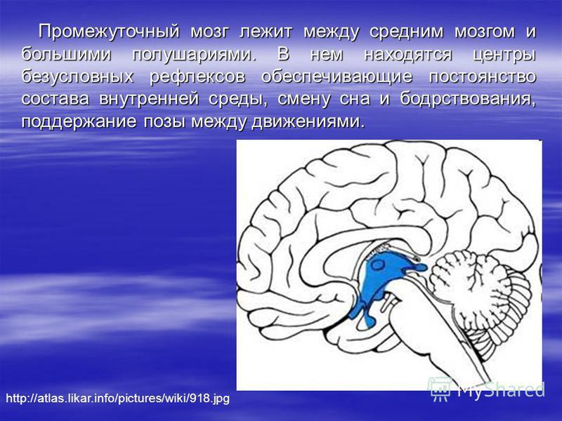 Промежуточный мозг лежит между средним мозгом и большими полушариями. В нем находятся центры безусловных рефлексов обеспечивающие постоянство состава внутренней среды, смену сна и бодрствования, поддержание позы между движениями. http://atlas.likar.i