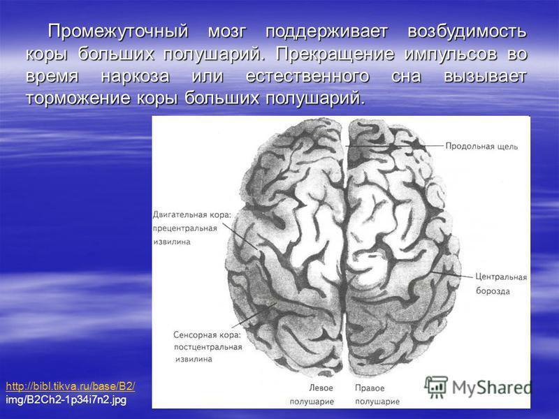 Промежуточный мозг поддерживает возбудимость коры больших полушарий. Прекращение импульсов во время наркоза или естественного сна вызывает торможение коры больших полушарий. http://bibl.tikva.ru/base/B2/ img/B2Ch2-1p34i7n2.jpg