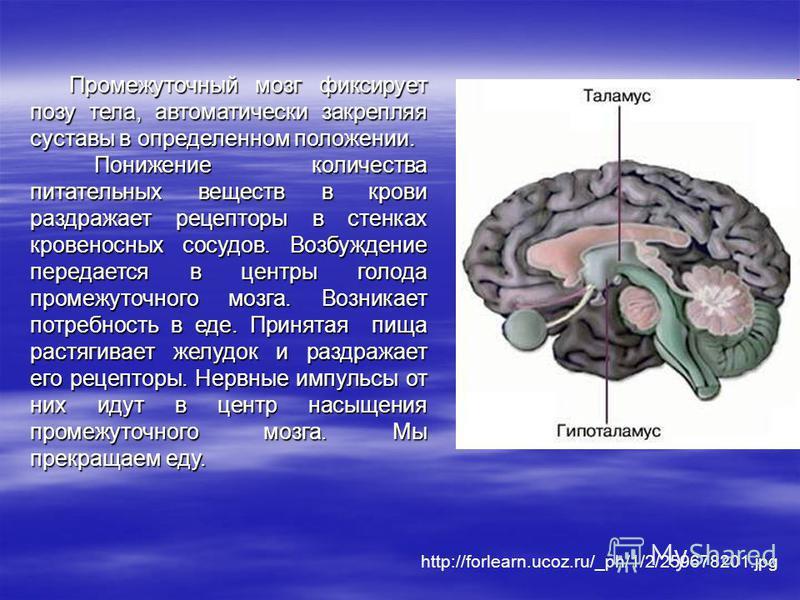 Промежуточный мозг фиксирует позу тела, автоматически закрепляя суставы в определенном положении. Понижение количества питательных веществ в крови раздражает рецепторы в стенках кровеносных сосудов. Возбуждение передается в центры голода промежуточно