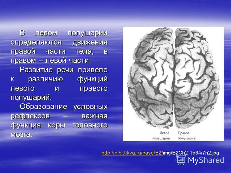 В левом полушарии определяются движения правой части тела, в правом – левой части. Развитие речи привело к различию функций левого и правого полушарий. Образование условных рефлексов – важная функция коры головного мозга. http://bibl.tikva.ru/base/B2