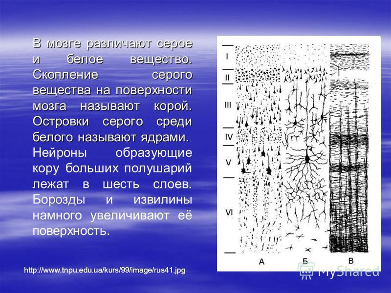 http://www.tnpu.edu.ua/kurs/99/image/rus41. jpg В мозге различают серое и белое вещество. Скопление серого вещества на поверхности мозга называют корой. Островки серого среди белого называют ядрами. Нейроны образующие кору больших полушарий лежат в ш