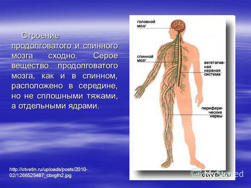 Строение продолговатого и спинного мозга сходно. Серое вещество продолговатого мозга, как и в спинном, расположено в середине, но не сплошными тяжами, а отдельными ядрами. http://otvetin.ru/uploads/posts/2010- 02/1266525487_cbvgfn2.jpg