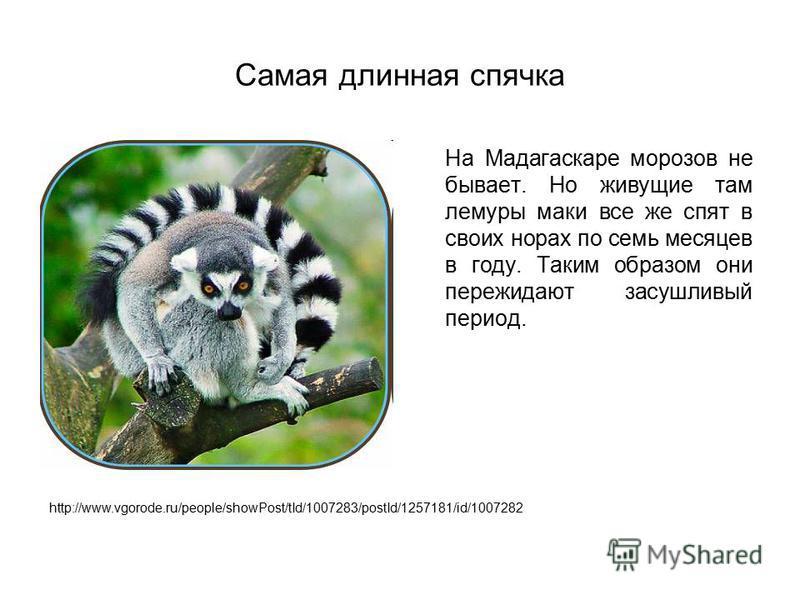 Самая длинная спячка На Мадагаскаре морозов не бывает. Но живущие там лемуры маки все же спят в своих норах по семь месяцев в году. Таким образом они пережидают засушливый период. http://www.vgorode.ru/people/showPost/tId/1007283/postId/1257181/id/10