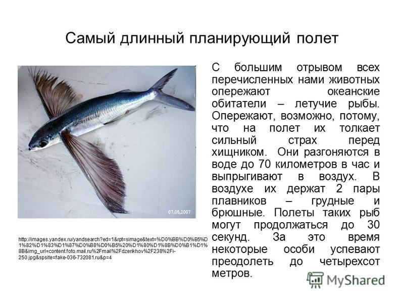 Самый длинный планирующий полет С большим отрывом всех перечисленных нами животных опережают океанские обитатели – летучие рыбы. Опережают, возможно, потому, что на полет их толкает сильный страх перед хищником. Они разгоняются в воде до 70 километро