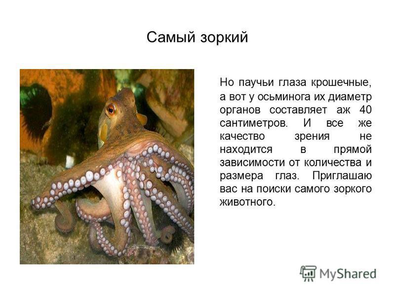 Самый зоркий Но паучьи глаза крошечные, а вот у осьминога их диаметр органов составляет аж 40 сантиметров. И все же качество зрения не находится в прямой зависимости от количества и размера глаз. Приглашаю вас на поиски самого зоркого животного.