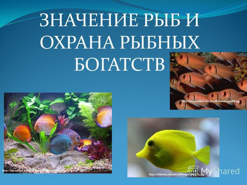 ЗНАЧЕНИЕ РЫБ И ОХРАНА РЫБНЫХ БОГАТСТВ http://i079.radikal.ru/0907/f6/0be4b3a55ddf.jpg http://school14.edusite.ru/images/p103_r4. jpg http://s55.radikal.ru/i150/0903/47/26f62ba05b9c.jpg