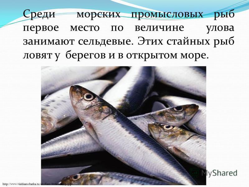Среди морских промысловых рыб первое место по величине улова занимают сельдевые. Этих стайных рыб ловят у берегов и в открытом море. http://www.visitkamchatka.ru/ekoKam/ihtfauna/773.jpg